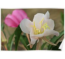 Alkali Lily Poster