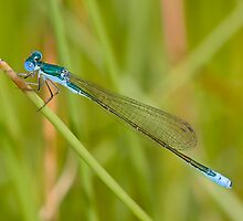 Nehalennia irene (Sedge Sprite) by Jim Johnson