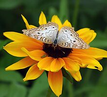 White Peacock on Mexican Sunflower by Artt
