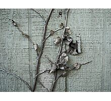 Old Paint with Vines Photographic Print