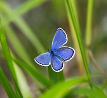 Blue Butterfly by Markku Vitikainen