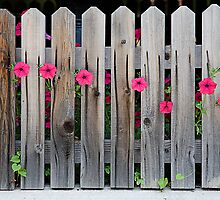 pink poking through the pickets by Artt