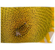 Pair of Busy Bees on Sunflower Poster