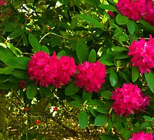 Rhododendrons by Trevor Kersley