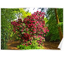 Rhododendrons #2 Poster