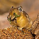 The Pika Project by Jay Ryser