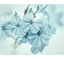 Plumbago is the language that my garden speaks in summer... Photographic Print