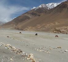 Wild horses/donkeys in Pangong Lake, Ladakh by mumuasia