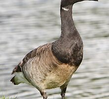Brant Goose Profile. by DigitallyStill