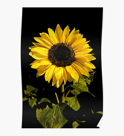 Sunflower Shines Poster
