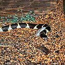 First Wild King Snake by JeremiahB