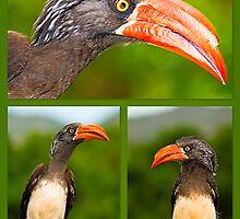 African Hornbill's by Warren. A. Williams