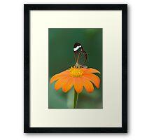Glasswing Butterfly on Orange Daisy Framed Print