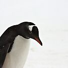 Gentoo Penguin ~ &quot;It&#x27;s a hard life&quot; by Robert Elliott
