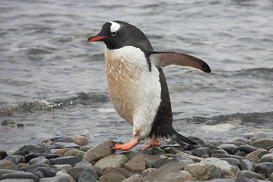 "Gentoo Penguin ~ ""On The Go"" by Robert Elliott"