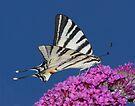 Scarce Swallowtail Butterfly by SWEEPER