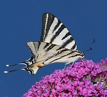 Scarce Swallowtail Butterfly by SWEEPER