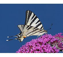 Scarce Swallowtail Butterfly Photographic Print