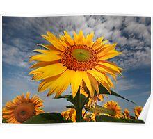 Sunflower morning . Poster