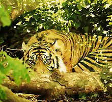 Eye of the Tiger. by Finbarr Reilly