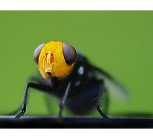 yellow faced fly Photographic Print