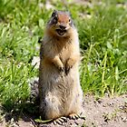 Columbian Ground Squirrel  by Kimberly Palmer