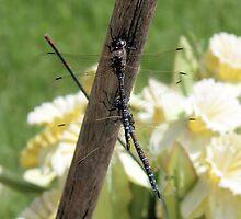 Dragonfly by Dan Shiels