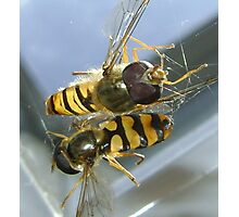 stuck (2 hoverflies) Photographic Print