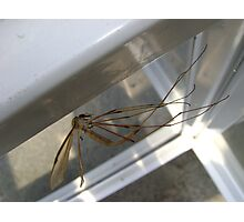 weightless (Cranefly) Photographic Print