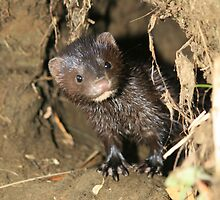 Baby Mink in beaver habitat,Martinez, Ca by Cheryl Reynolds