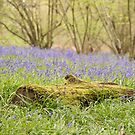 Hillhouse bluebell wood by Christopher Cullen
