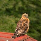 Backyard Hawk by Rick  Friedle