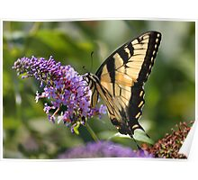 'Tiger Swallowtail on Buddlea' Poster