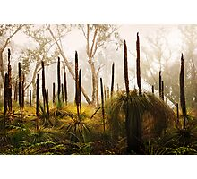 Late Autumn Grass Tree's, Great Ocean Road. Photographic Print