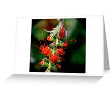 Emerging Bottle Brush Flower Greeting Card
