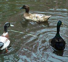 Three Ducks by Leane Stitzinger