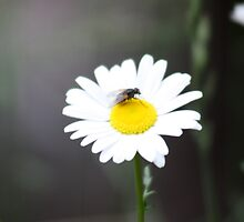 Fly on My Daisy! by Alyce Taylor