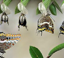 life-cycle of Charaxes jasius by jimmy hoffman