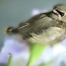 CEDER WAXWING BIRD by Aurora Pintore