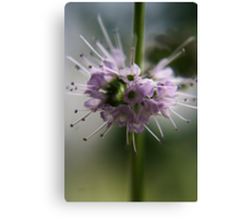 Blossoming mint (from wild flowers collection) Canvas Print