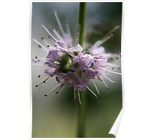 Blossoming mint (from wild flowers collection) Poster