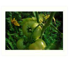 Green tomato's  Art Print