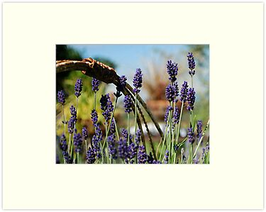 Lavender Dreams by Marjorie Wallace