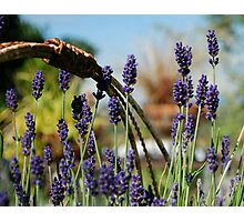Lavender Dreams Photographic Print