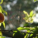 Spider web in the sun by Jamaboop