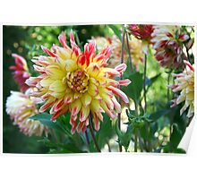 dahlia flower bed Poster