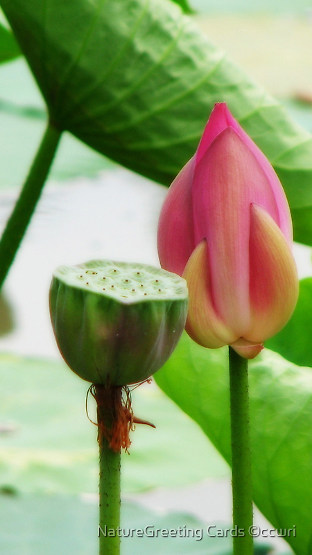 ~Lotus Stages~ by NatureGreeting Cards ©ccwri