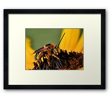 Long-Horned Bee Framed Print