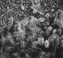 Cactus taken with a 1960's Polaroid Land Camera using FP-300B film by awanderingsoul