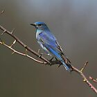 Mountain Bluebird by Martin Smart